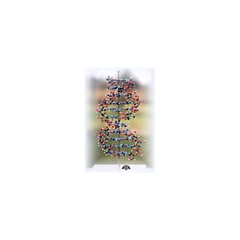 Model budowy przestrzennej DNA (postać B)