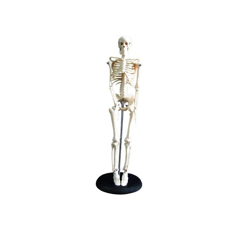 Szkielet człowieka 45 cm