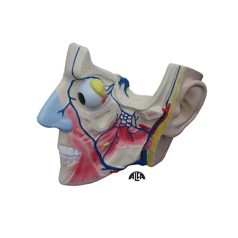 Ćwierć głowie - z mięśniami i naczyniami