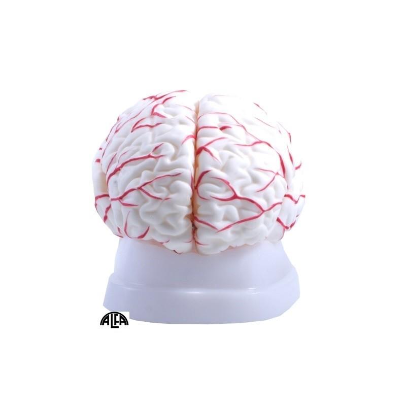 Mózg z naczyniami - model 8 częściowy