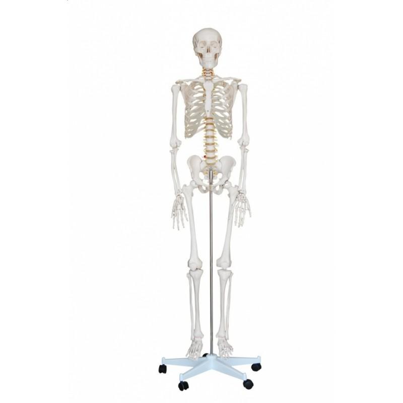 Szkielet człowieka 180 cm (realny rozmiar)