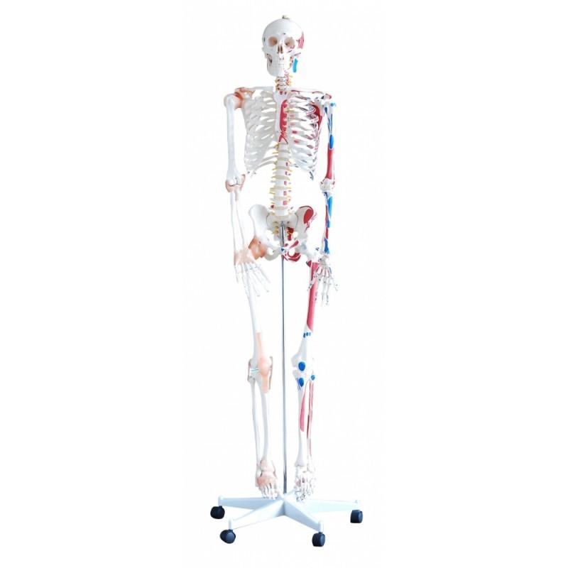 Szkielet człowieka 180 cm z mięśniami i wiązadłami