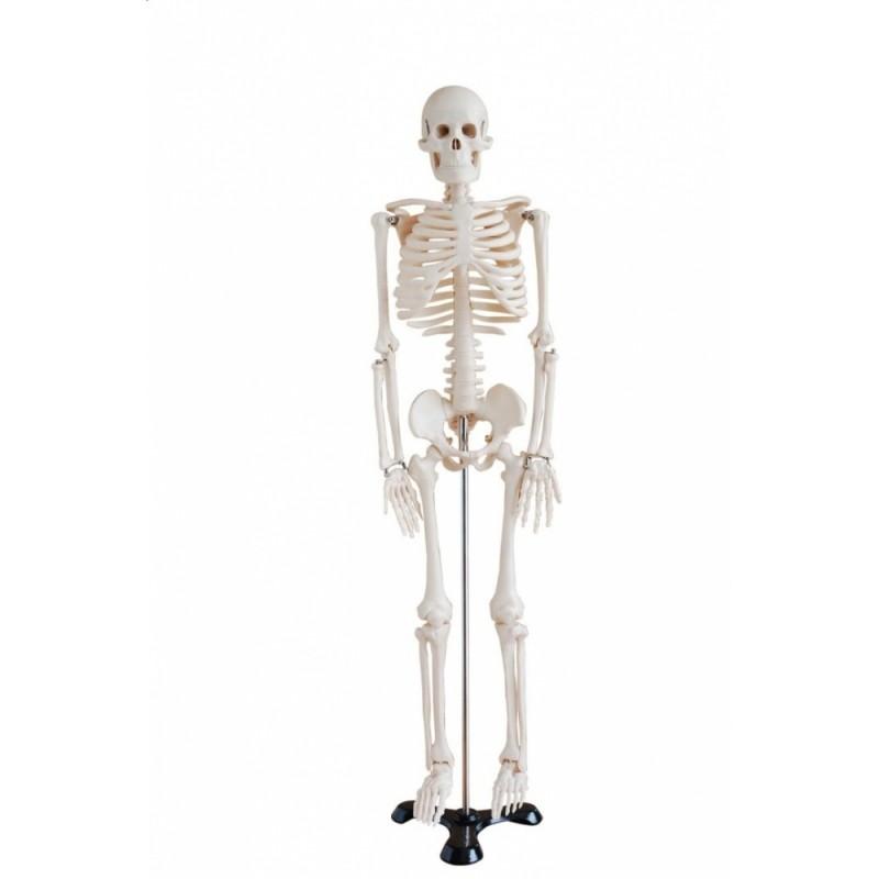 Szkielet człowieka średni 85 cm