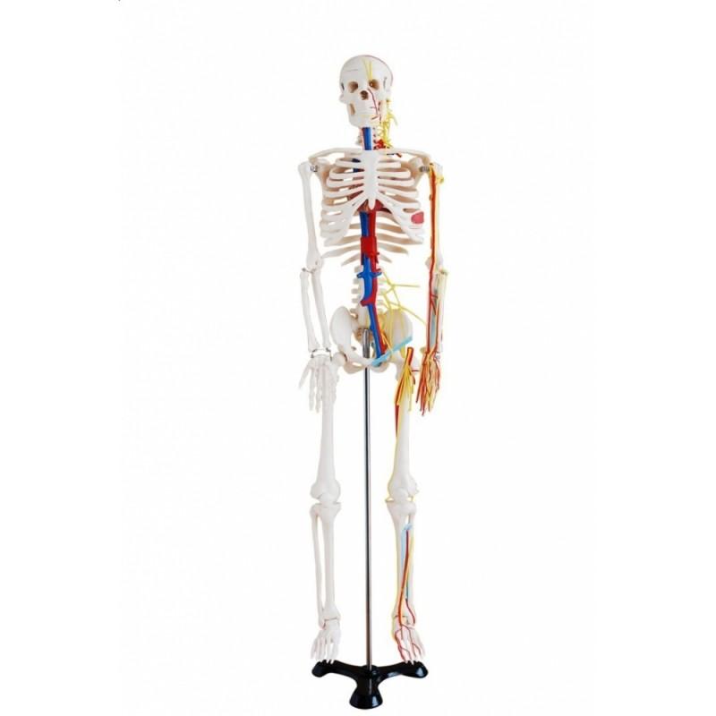 Średni Szkielet z nerwami oraz naczyniami krwionośnymi 85 cm