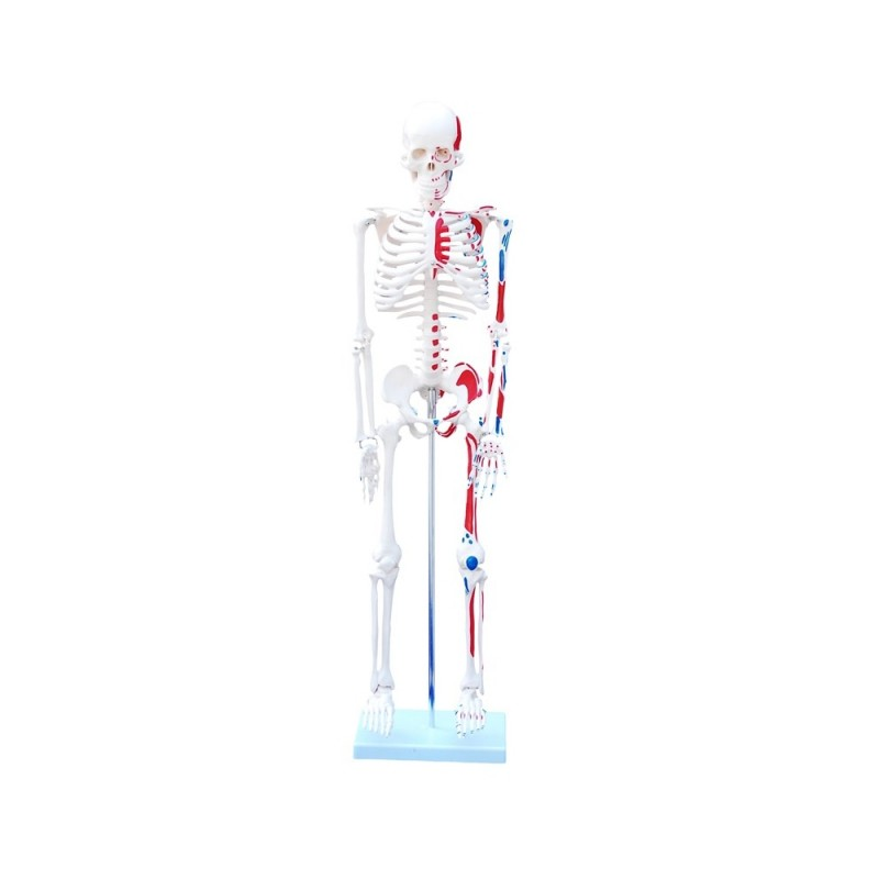 Średni Szkielet z mięśniami 85 cm