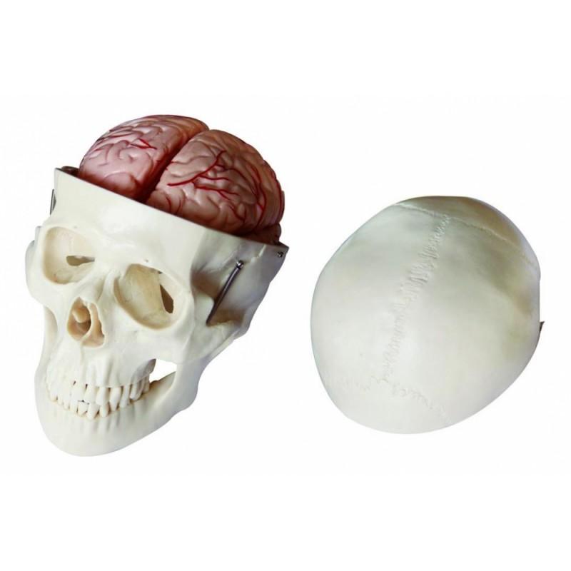 Czaszka człowieka z mózgiem