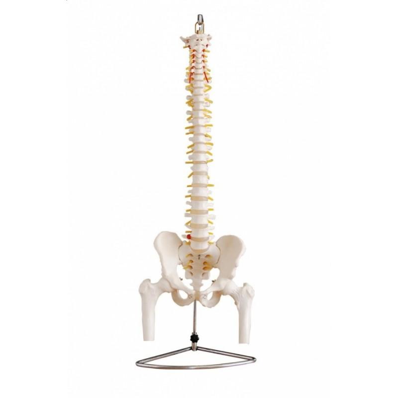 Kręgosłup z miednicą oraz kością udową (elastyczny)