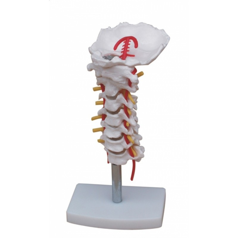Kręgi szyjne z tętnicą grzbietową