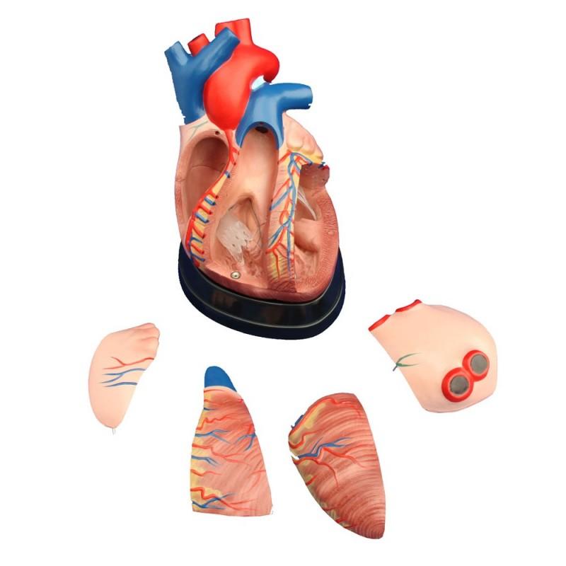 Powiększony model serca