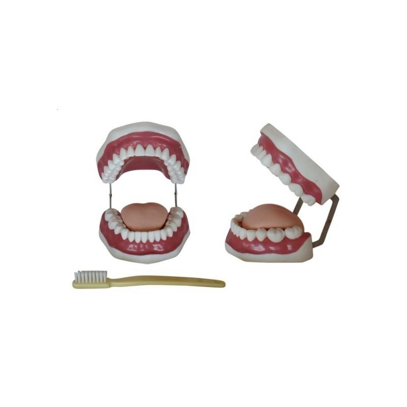 Model jamy ustnej