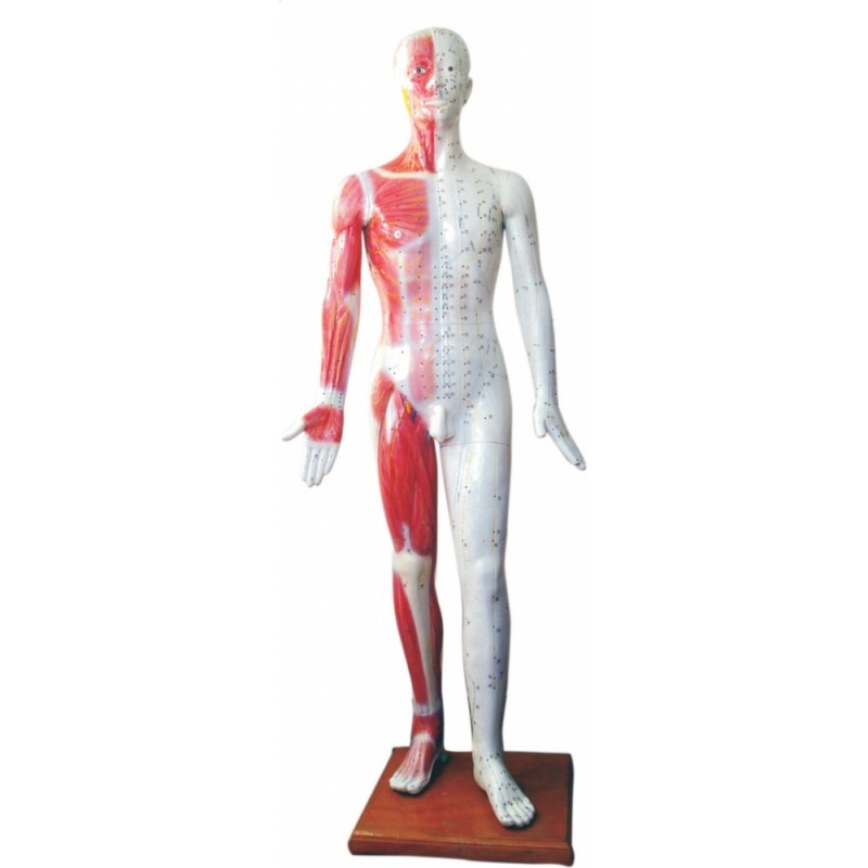 Model człowieka z punktami akupunktury 178cm