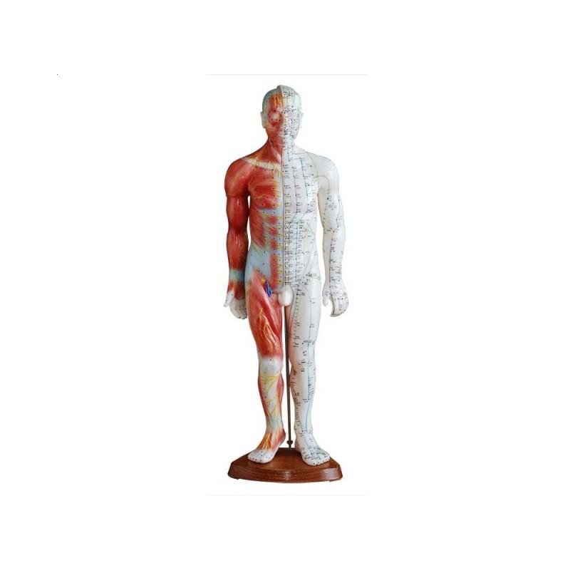 Model budowy człowieka akupunktura/mięśnie (mężczyzna 55cm)