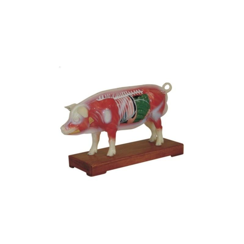 Model świni - akupunktura