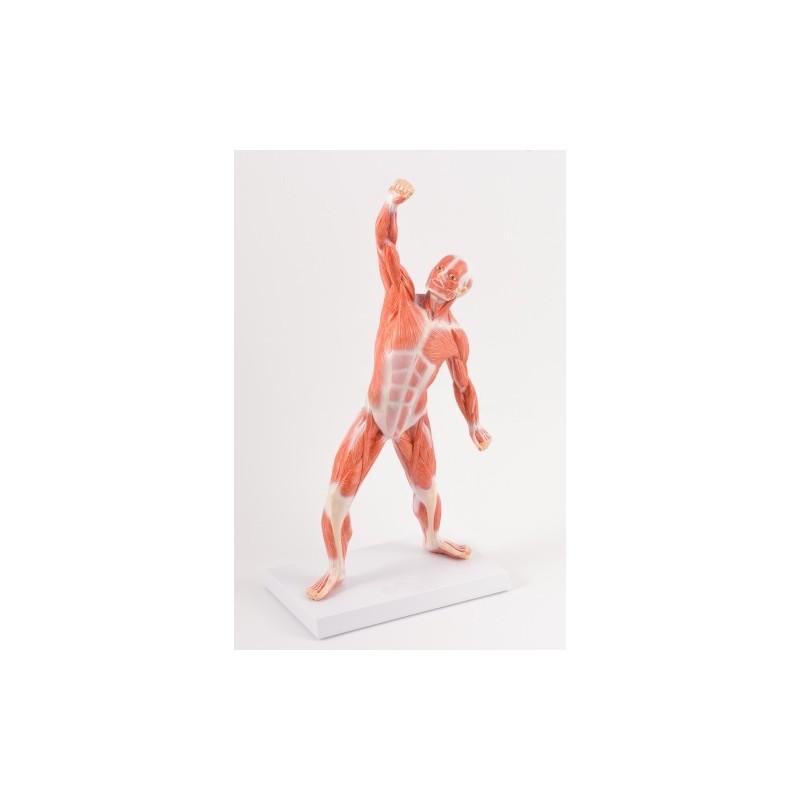 Układ mięśniowy 50 cm