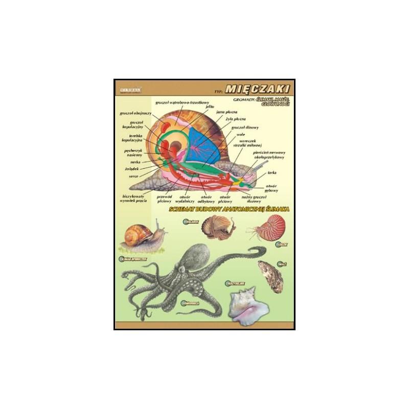 Mięczaki - budowa anatomiczna