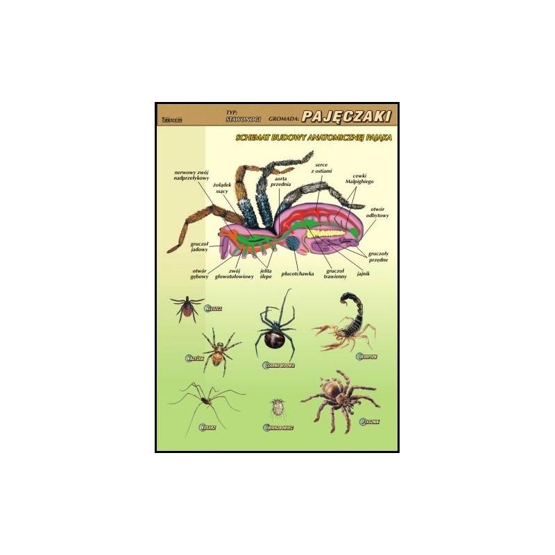 Pajęczaki - budowa anatomiczna