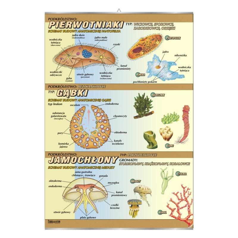 Pierwotniaki, gąbki, jamochłony - budowa anatomiczna