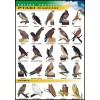 Ptaki drapieżne - polska przyroda
