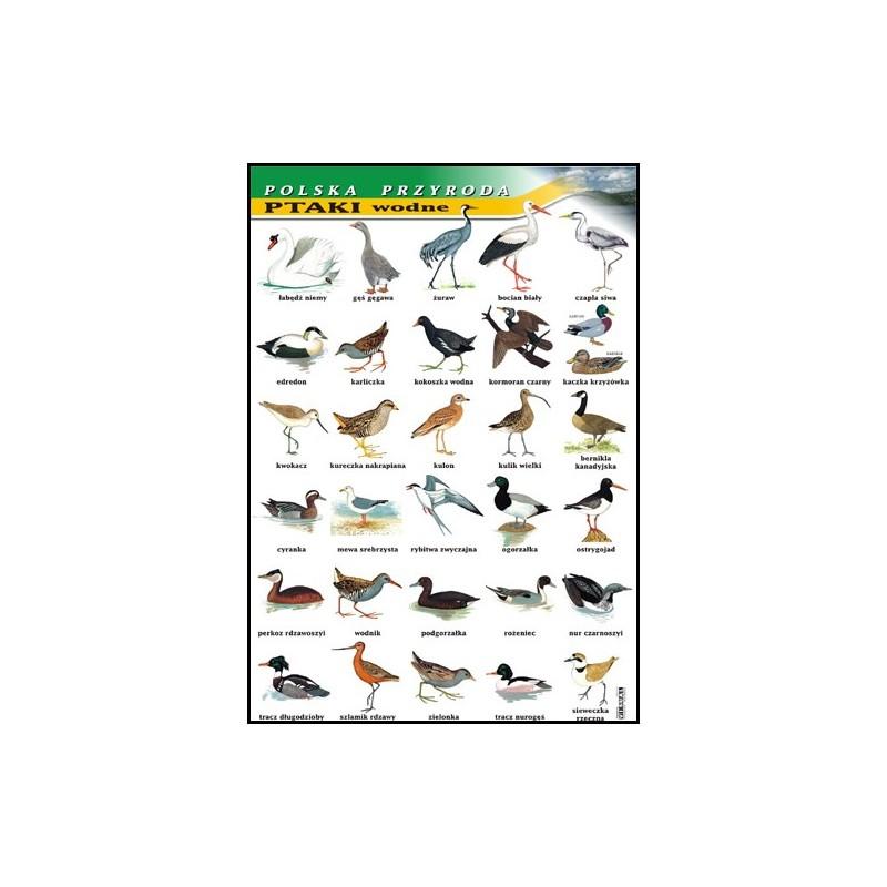 Ptaki wodne - polska przyroda