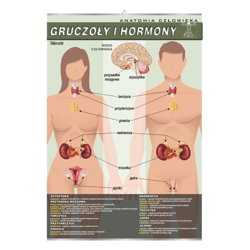 Gruczoły i hormony
